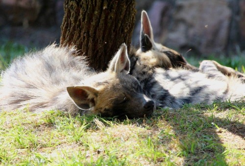 Striped hyenas snoozing (by ~Adrienmcguire)