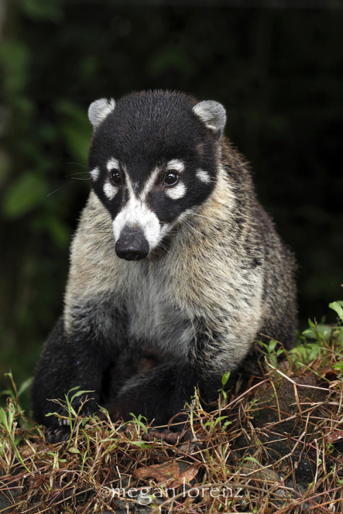 White-tailed Coati (Nasua narica) - North and Central America, family Procyonidae (related to raccoons and kinkajous) (photo by Megan Lorenz)