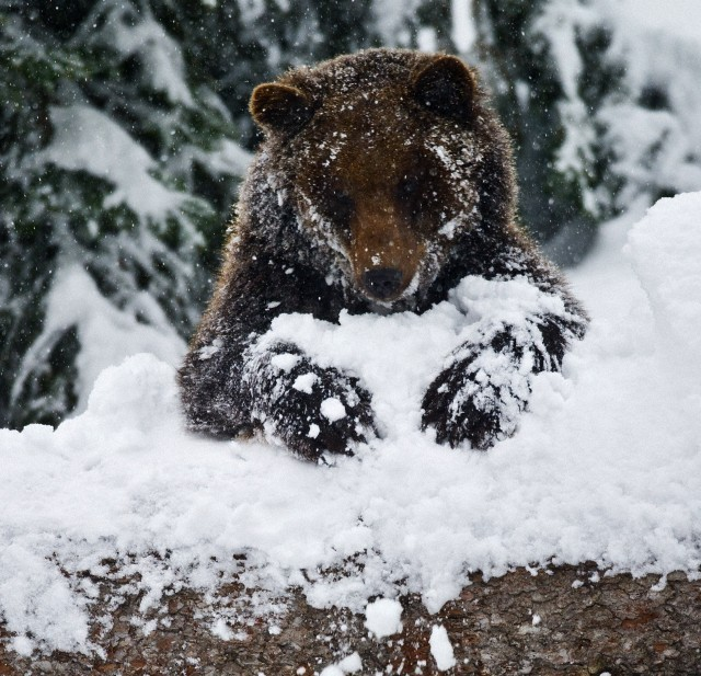 loveforallbears:  A brown bear (Ursus arctos) is pictured in its snowy outdoor enclosure in the Bavarian Forest National Park near Neuschoenau, Germany, 03 February 2013. Photo: Patrick Pleul