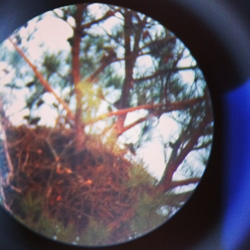 Bald eagle nest as seen through a telescope.