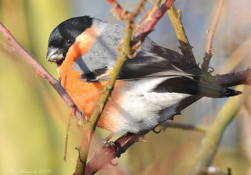 Bullfinch (Pyrrhula pyrrhula).jpg by  Tony Margiocchi (Snapperz) on Flickr.