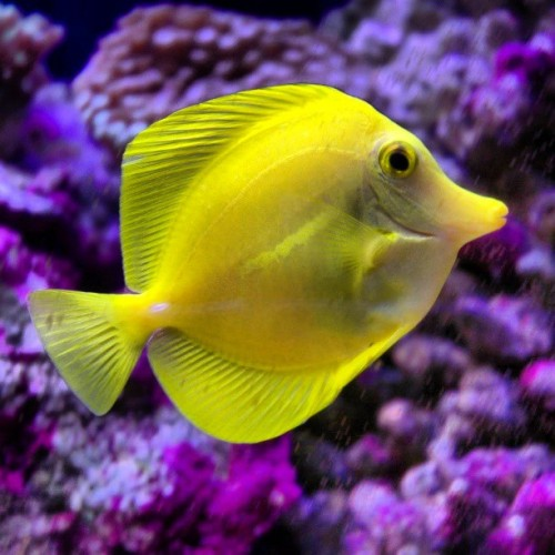 Just bought one of these #yellowtangs for my #saltwateraquarium. #firstfish #tropicalfish #ihopehedoesntdielol