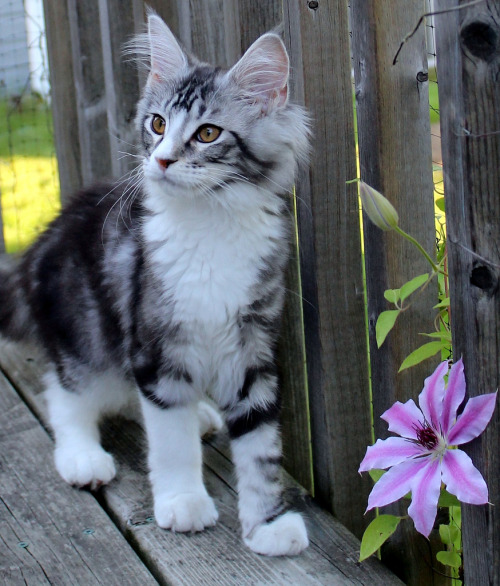 mostlycatsmostly:  Louis (by Miss Molly Magoo)