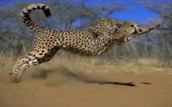 llbwwb:   the cheetah attack by Cowboy.