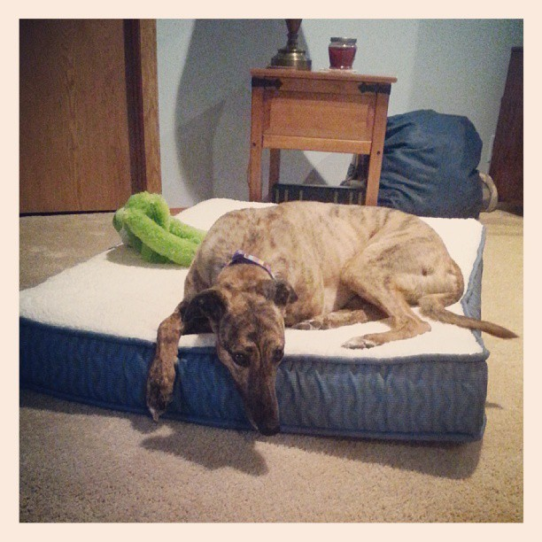BELLA #greyhound #adopted #unl #CUTE