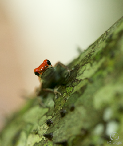 Strawberry poison dart frog-my main reason for taking a very hot, humid hike!
