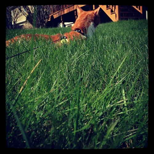 #cat #grass #green #spring #love #cute #outdoors #hunter #catsofinstagram #kitten
