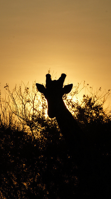 Silhouette Giraffe Botswana by PatMarcoux on Flickr.