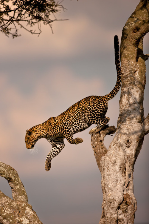 the-natural-world:  Leopard 28 by ~catman-suha
