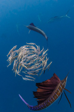 the-seventy-percent:  smithsonianmag:  Photo of the Day: Sailfish hunting a sardine bait ball Photo by: Peter Allinson (Kingsville, Maryland); 35 miles off the coast of Cancun, Mexico  woah *__*