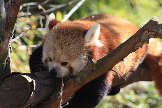 sdzoo:  Red Panda by Ray Bouknight