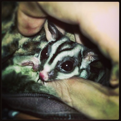 My cute little sugar booger. #sugar glider
