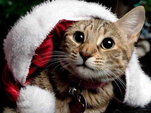 Day 12 Christmas Cat advent calender