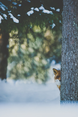 love snow photography winter animals cute tree kawaii hipster vintage wonderful animal x nature forest fox vertical vulpix vert