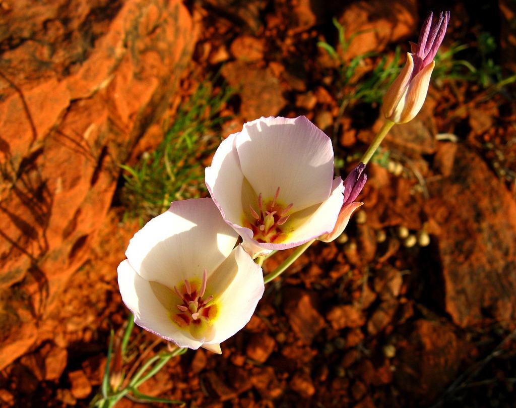 Sego Lilies — Follow Arizona Nature!