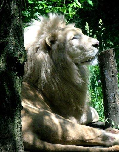 theanimaleffect:  Looking dapper there Mr. Lion.