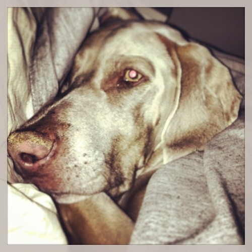 Mornings are hard #weimaraner