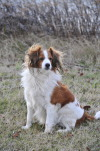 Aramis, a kooikerhondje. Photo by my Dad.