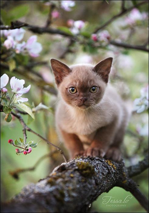 bulldawg12:  Tree climbing Burmese kitty