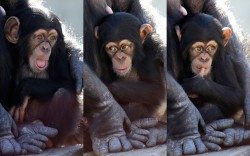 funnywildlife: A baby chimp shows a variety of expressions as it sits in its mother's arms at Chimp Haven in Keithville, Louisiana. One hundred and eleven chimpanzees will be coming from a south Louisiana laboratory to Chimp Haven, the US national sanctuary for chimpanzees retired from federal research.Picture: Gerald Herbert/AP