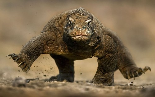 theanimalblog:  Wildlife photographer Brian Matthews's photo of a fearsome Komodo dragon seeming to balance on two feet.  Picture: BRIAN MATTHEWS /CATERS NEWS