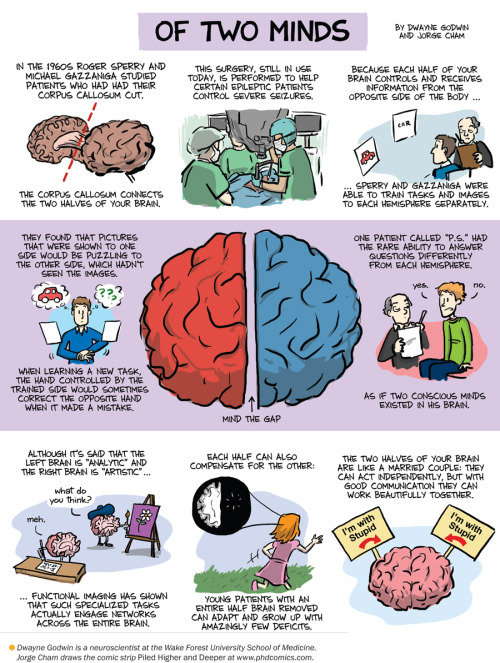 "jtotheizzoe:  The old tales of left brain/right brain ""types"" of skills and people have proven to be oversimplified and, well, kinda wrong. But the studies outlined in this cartoon remind us that there's plenty of interesting biology between the hemispheres. Via wildcat2030:  Split-Brain Patients Reveal Brain's Flexibility: Scientific American"