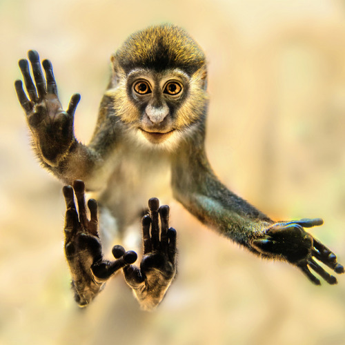 earthandanimals:  Monkey says hi. Photo by Svetlana Spirina