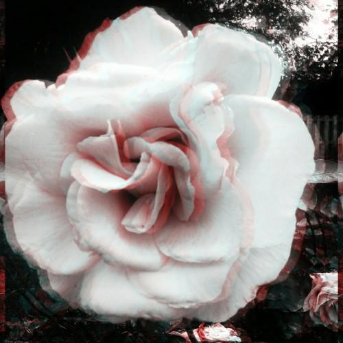 Irish Rose Photography