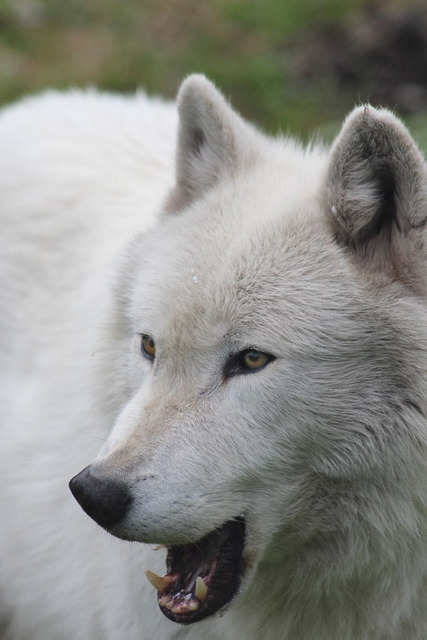 theanimaleffect:  Photos by Scott Weaver. Taken at Wolf Haven International, Tenino Washington, on a photo tour. Photo # - 331 by weaverwrite on Flickr.