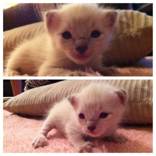 This little cutie will be mine on may 10th. #2weeksold #soexcited #babykitten
