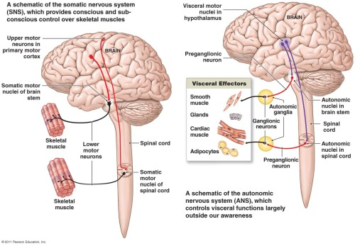 neuroanatomyblog:  Comparison of SNS (Somatic Nervous System - Voluntary) to ANS (Autonomic Nervous System - Visceral) ANS differs from the SNS in: Thier effectors SNS innervates skeletal muscle and ANS innervates smooth and cardiac muscle and glands  Efferent pathways SNS - cell bodies of the motor neuron are in the CNS, and their axons extend in spinal nerves all the way to skeletal muscles ANS - two neuron chain The cell body of the first neuron (preganglionic neuron) resides in the brain or spinal cord Its axon (preganglionic axon) synapses with the second motor neuron (ganglionic neuron) in an autonomic ganglion outside the CNS The axon of the ganglionic neuron (postganglionic axon) extends to the effector organ   Target organ responses - neurotransmitter effects SNS - acetylcholine released at their synapse ANS - norepinephrine, epinephrine and acetylcholine