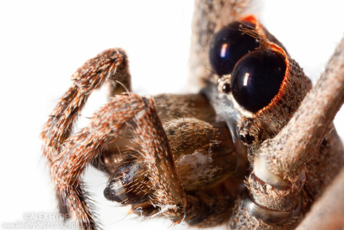 orge faced spider or net casting spider Deinopis sp image source