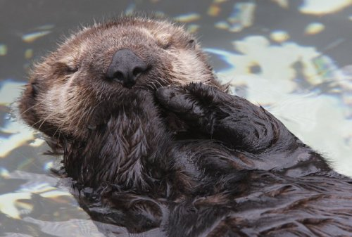 One rather famous sea otter may be making a return when our exhibit re-opens March 23. Anyone guess who that is?  Check it out via your Desktop.  Via your mobile.