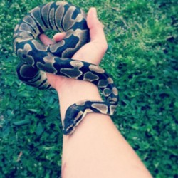 out for a walk #snake #ballpython