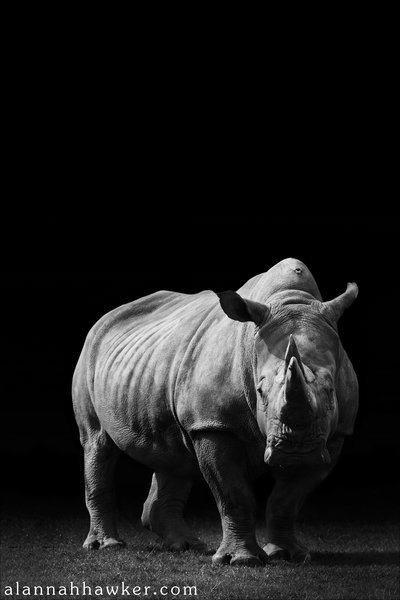earth-song:  Rhino by *Alannah-Hawker