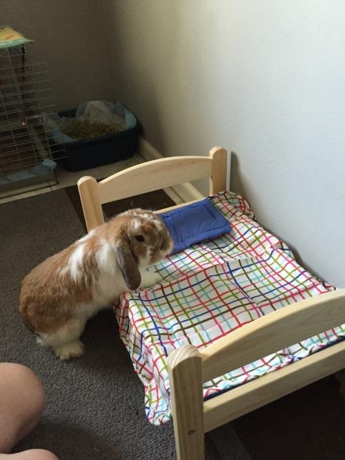 rabbit bunny holland lop