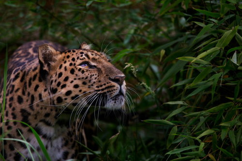 animalkingd0m:  Amur Leopard by Billy Currie