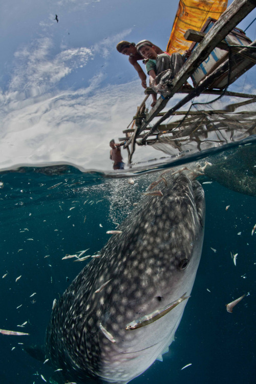 h4ilstorm:  whaleshark 1/2 and 1/2 (by Paul Cowell)