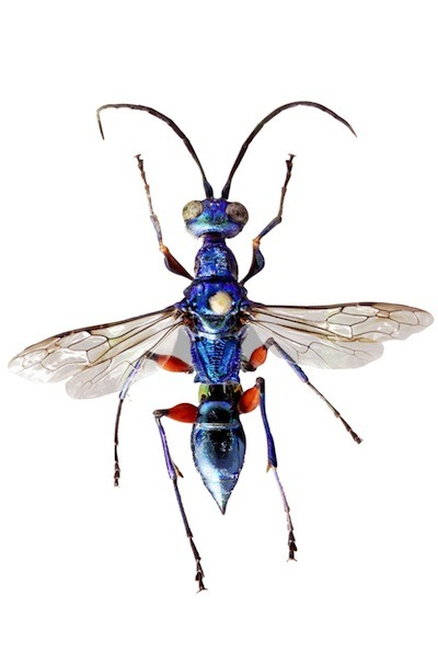 At the Zombie Cockroach Buffet, Bring Your Own Antibiotics Meet the jewel wasp. This gorgeous, iridescent creature belies its gem-like appearance with a habit that, on the surface, is downright revolting: It turns cockroaches into mind-controlled zombies, chemically hypnotizing them in order to provide a helpless, living food source for the wasp's young. In short, it injects the cockroach brain with a neurochemical cocktail that, instead of killing it, forces the roach to surrender itself to the wasp's will. It steals the zombie roach away to its burrow, where it lays its egg. That egg grows into a larvae that feeds inside the still-living roach, its prey trapped in a chemical noose that prevents it from escaping even as it is eaten from within. Cool, huh? Well, new research paints the picture a bit cooler. Cockroaches are filthy places, unsurprisingly. They harbor bacteria within them that could kill the young larvae, zombie host or not. It turns out that the young wasps secrete intense antimicrobial chemicals to keep their zombie roach buffet clean and disinfected. The research involved one of the coolest tools I've ever heard of:Tinywindows were inserted in the roaches so the larvae could be observed!! Want more detail on this squeaky clean zombie tale? Check out Carl Zimmer atThe Loom, Ed Yong atNature News, or Christie Wilcox atScience Sushi. Now where's that alcohol gel? … I'm hungry.