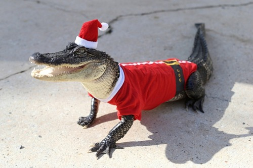 Merry Christmas from the Christmas Alligator.