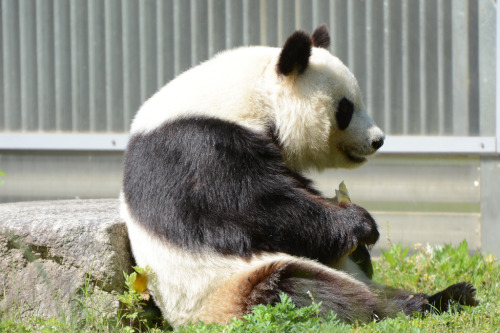 giantpandaphotos:  Tan Tan at the Kobe Oji Zoo in Japan on May 18, 2013. © Patrick Harper.