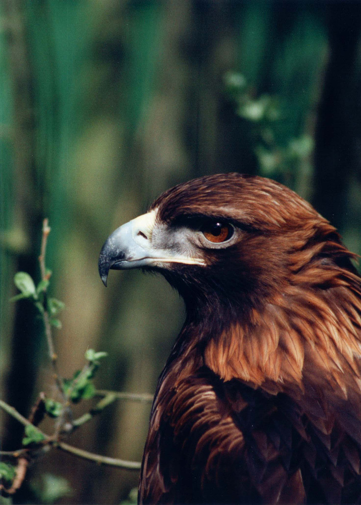 paranoiak-xx:  mystic-revelations:  Golden Eagle By creviazuk