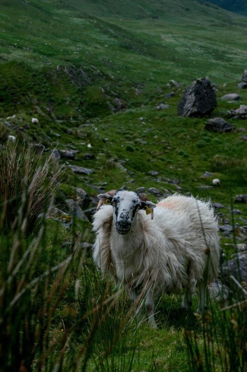 photographers on tumblr original photography original photographers photography animal photography animal portrait sheep killarney mountains valley landscape Ireland county kerry