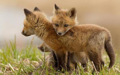 llbwwb:  Cute baby foxes.by Picturegirl.