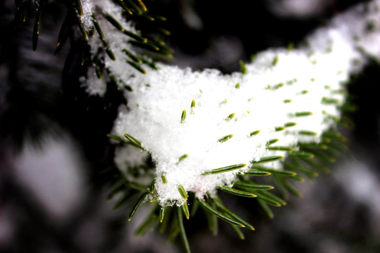 - Winter Snow On Pine -