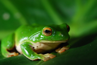 frogs: Moltrechti's Green Treefrog: 莫氏樹蛙-老莫一隻XD Frogs are the best