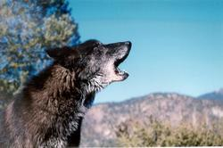 Black Wolf Howling (Photo: Steve Martin's Working Wildlife.)Do wolves really hunt people as prey?  Do they kidnap small children to raise with their own cubs?  Are dogs really descended from wolves?  There are only 3 species of wolves in the world, the wolves we know in North America are subspecies of the Gray Wolf.  Visit the International Wolf Center for more facts and fallacies about wolves.http://www.wolf.org/wolves/index.asp