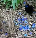 Satin Bower BIrd  This species of Bower Bird collects only blue objects. Living proof that whimsy is as important to natural selection as fitness.NOVA, Flying Casanovas http://www.pbs.org/wgbh/nova/bowerbirds/
