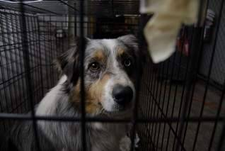 "Breeders say seized dogs were cared for Some who have seen the 70 animals contend county's move wasn't needed KEVIN GRASHA • KGRASHA@LSJ.COM FROM LANSING STATE JOURNAL The 70 dogs seized Monday from a Mason-area breeder were well fed and cared for, according to local breeders who have seen them. And, a woman who specializes in rescuing dogs agrees with the breeders… ""She probably got more dogs than she could handle,"" said Ellen Brandenburg of Thornapple Aussies in Vermontville. Referring to television news footage, Brandenburg said: ""I see dog houses, I see toys, I see clean concrete. She can't be condemned for having wet dogs when we're having a monsoon.""… More     UPDATE: No Dogs to be Euthanized By, Jason Colthorp, WILX MICIHIGAN — To our viewers who saw or read the story on wilx.com about 70 dogs seized from a home in Mason, Monday, take a bow, you've helped save dozens of dogs by getting the word out about the need for adoption. Ingham County Animal Control told wilx.com Tuesday night, every adoptable dog has found a temporary or permanent home thanks to folks who lined up outside the shelter from sunrise to sundown. That means no dogs will be euthanized due to overcrowding.   Other animal shelters, including the Cascades Humane Society, also stepped in to take some of the 70 Australian Shepherds taken from that home. Animal cruelty charges could come sometime this week against the woman who owned the dogs and was a licensed kennel and breeder. Her license was revoked Monday. Staff at the shelter worked well into the night Monday, cleaning impacted mud and fecal matter from many of the 70 pure bred show dogs. One staff member said it would have taken weeks for the dogs to get so much dirt and mud built up on their paws and fur. Some had urine-stained paws, as well. Authorities have not released the woman's name as of Tuesday…""  More Authorities seize 70 dogs; homes sought By, Ryan Loew, LSJ MASON — The Ingham County Animal Control seized 70 dogs from a Mason-area kennel Monday, in what officials are calling the largest seizure in the agency's history. Most of the dogs are Australian Shepherd dogs and were living in conditions one deputy described as ""atrocious."" ""Some were living in mud and water,"" said David Wilcox, deputy director of the Ingham County Animal Control. ""One of the pens outside was completely covered with approximately 3 to 4 inches of water where the animals had no way to get out of the water."" Other dogs were housed in kennels inside a garage-like structure attached to the owner's home, Wilcox said. ""The kennels all had several inches of feces in them … it looked like they were just throwing wood chips on top of them to cover it up,"" he said. The seizure began Monday morning when an Animal Control deputy received an anonymous tip alleging poor conditions at the kennel…""  More & video Photo by: Ryan Loew/Lansing State Journal"