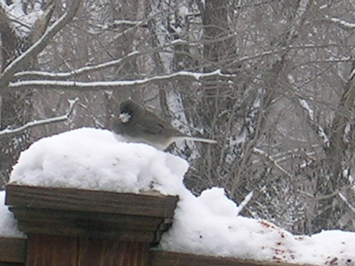 NAME:  male dark eyed Junco. HOW THEY FEED: pretty much on the ground, but they  will  go to feeders if they have to.